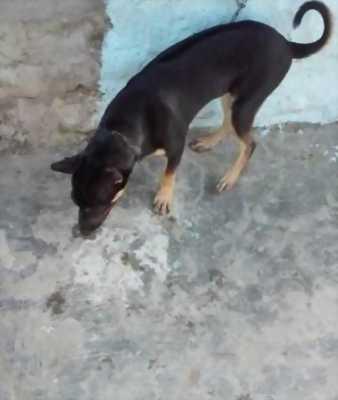 Bán một chú chó Phú Quốc lai Becgie giống đực với giá hữu nghị.