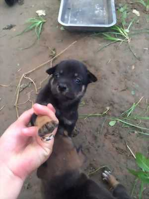 Chó becgie Nga lai