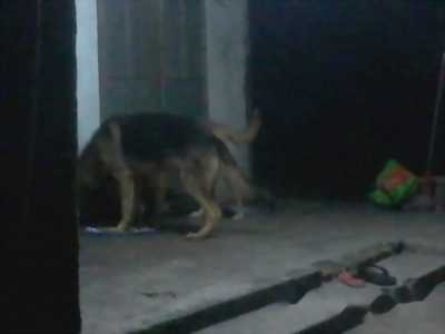 Chó becgie mười tháng tuổi.