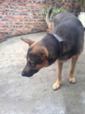 Bán chó Becgie giống Đức,  mười hai tháng tuổi