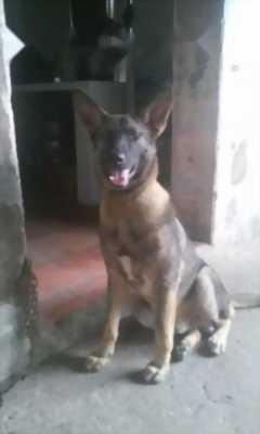 chó lai béc đức Đc 14thag tuổi nặng 37kg