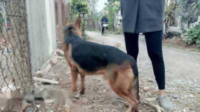 Chó becgie tám tháng tuổi