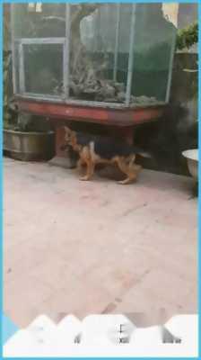 Chó béc đức 10 tháng