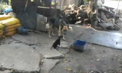 Bán chó becgie thuần chủng tại nhà