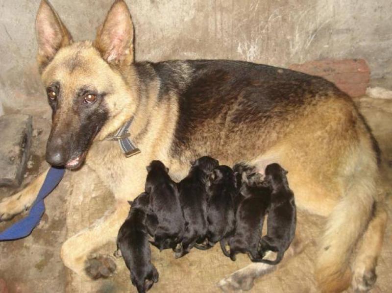Cần tìm chủ mới cho đàn Chó becgiê con