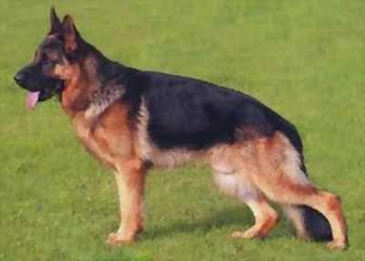 Cần bán becgie Bỉ, malinois thuần chủng, chó nghiệp vụ giống trong phim mỹ