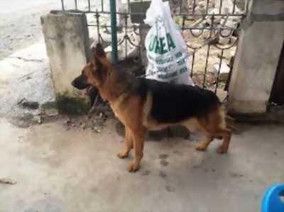 Cần bán chó becgie đức hàng đẹp