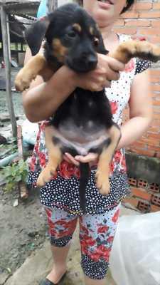 Bán chó becgie hai tháng tuổi