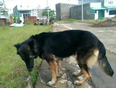 Chó becgie bán hoặc gl