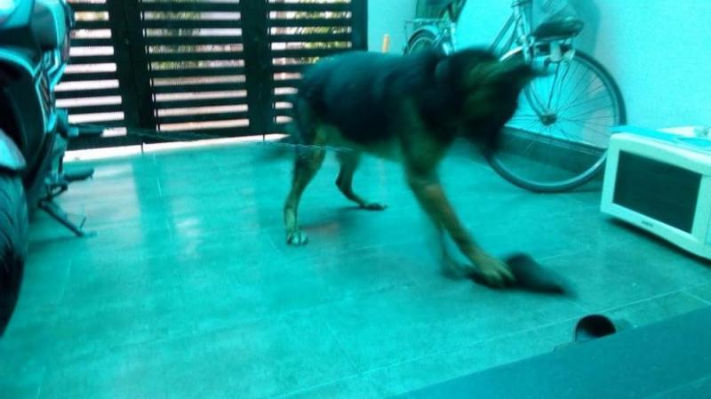Bán nhanh chó becgie đức, bảy tháng, đực, dòng chuẩn