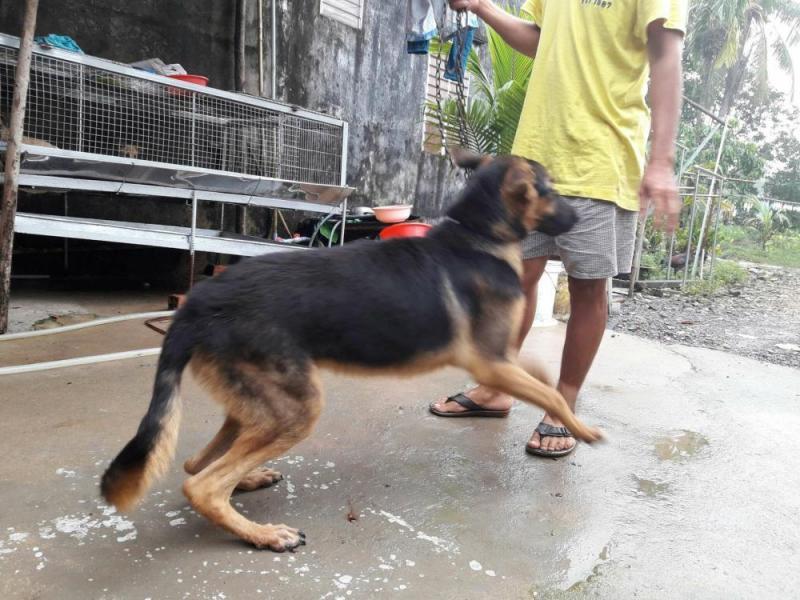 Cần bán con chó becgie đực 8 tháng