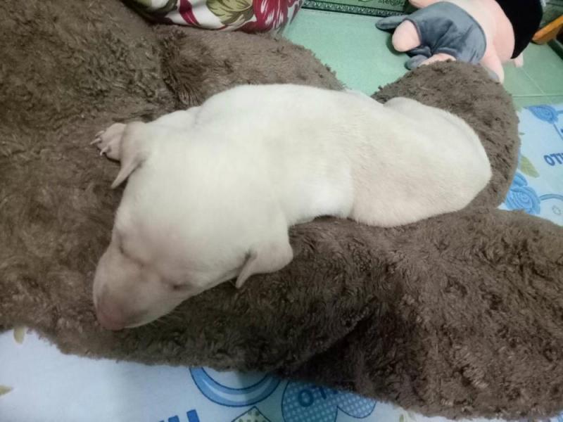 Cần bán con cún con được hơn 1 tháng