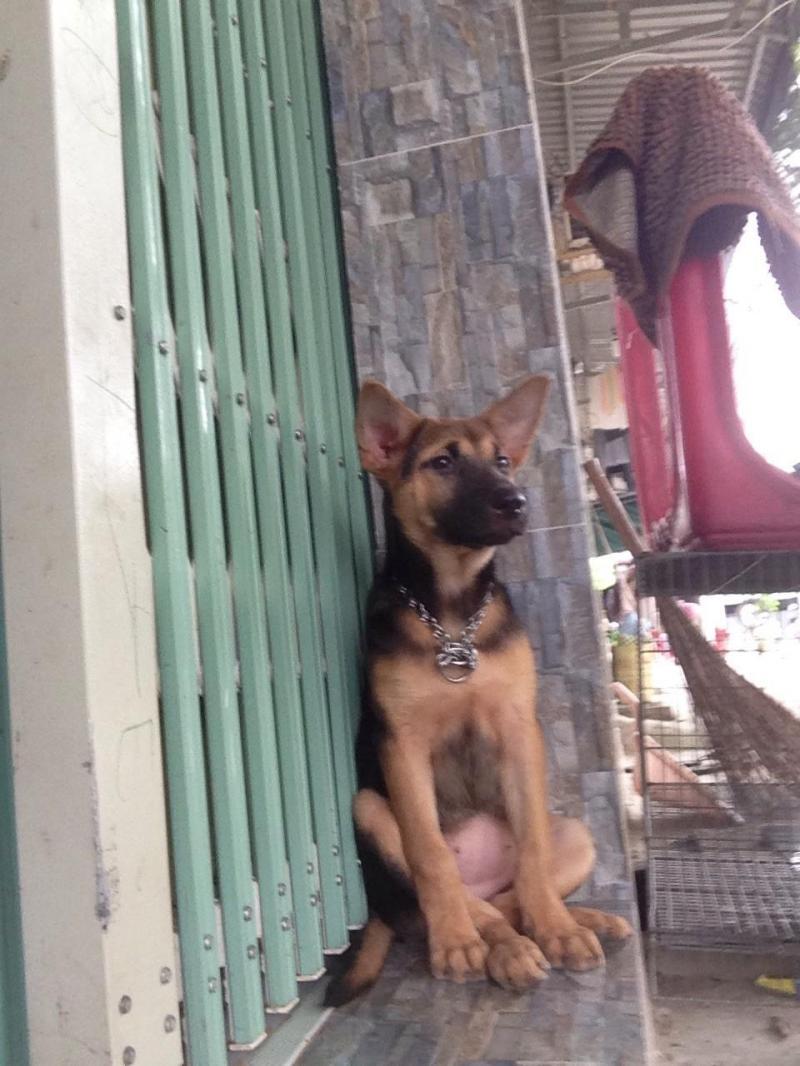 Cần bán chó becgie đức