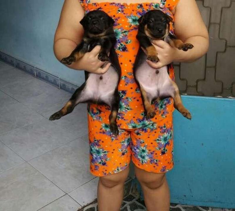 Chó bẹc lai baby ( đực)