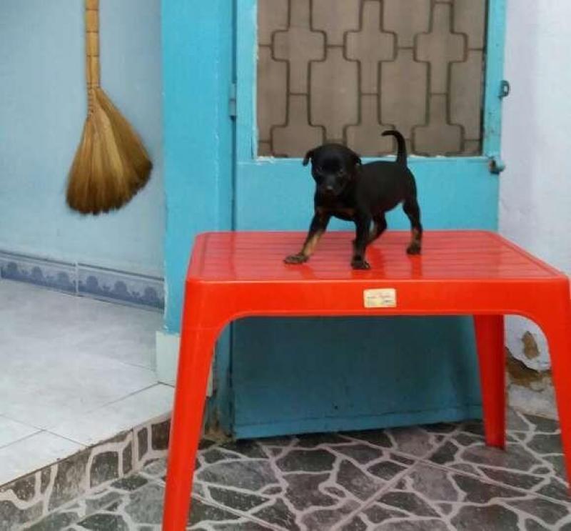 Tìm chủ mới cho bé chó baby lai becgie (cái)
