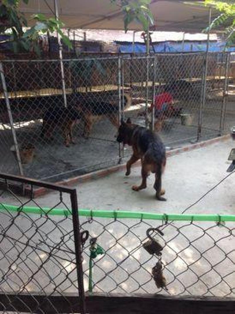 Bán chó becgie đức thuần chủng