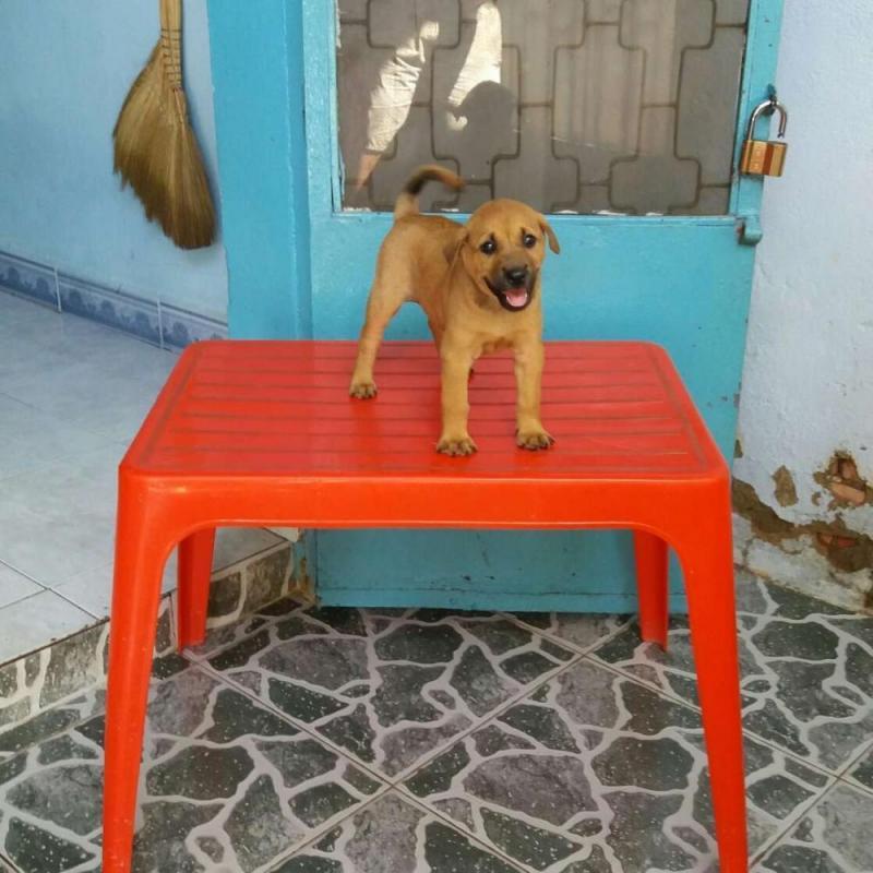 Cần tìm chủ mới cho chó vàng lai becgie (cái)