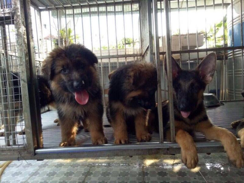 Bán chó becgie giống thuần chủng 3 tháng