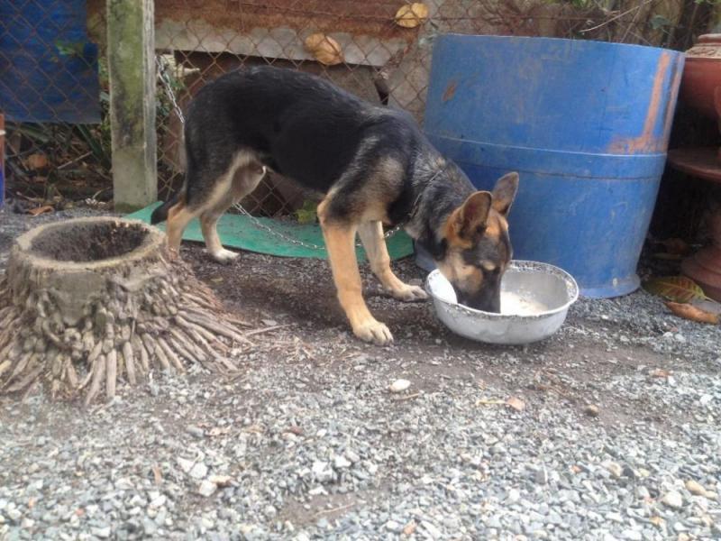 Bán chó bergie đức, đực, 3,5 tháng