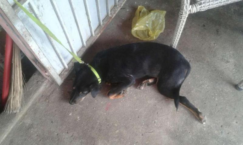 Bán nhanh chó becgie 11kg