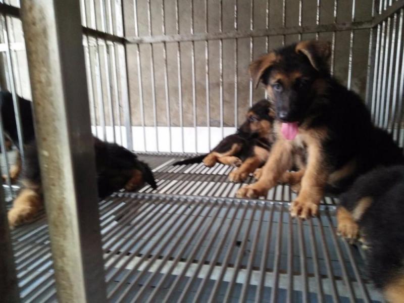 Cần bán con chó becgie thuần chủng