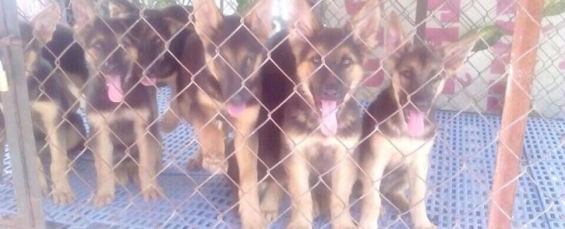 Cần bán cún con giống becgie thuần chủng