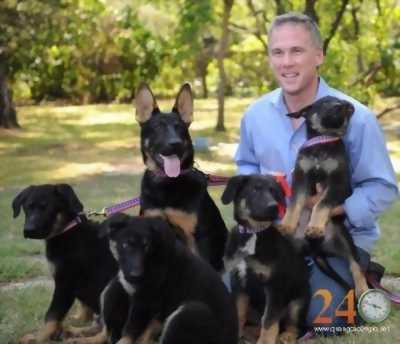 Bán cún becgie, rottweiler, phú quốc thuần chủng