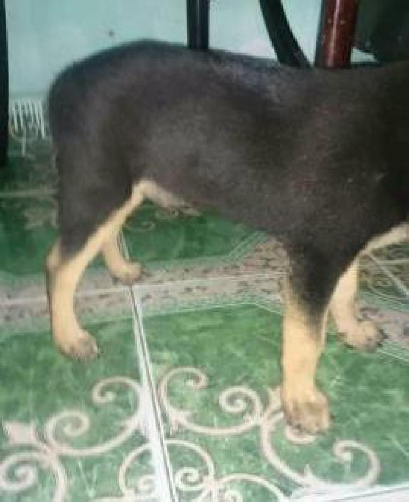 Cần bán chó becgie đức hai tháng con đực