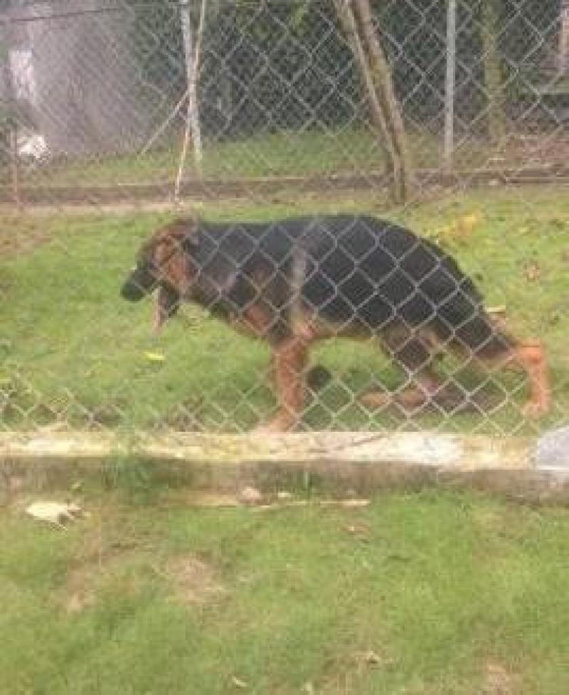 Bán chó becgie đực hơn 5 tháng