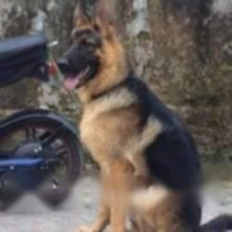 Bán chó becgie đức đực 6 tháng