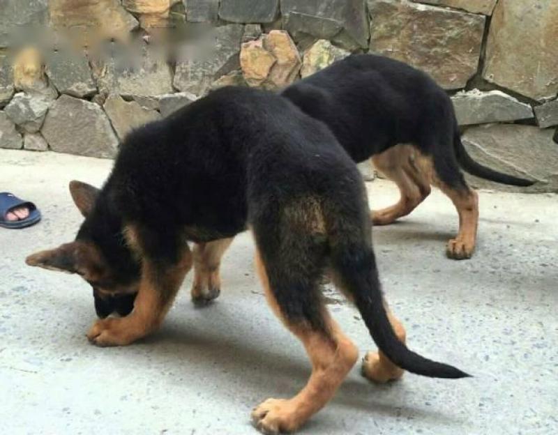 Cần bán chó becgie đức ba tháng, 15kg, lh ...