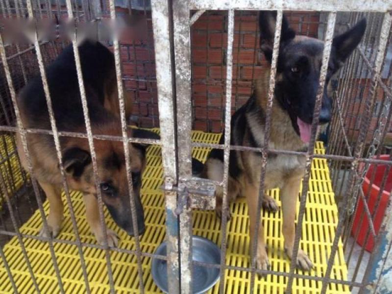 Cần bán cặp chó becgie đức thuần chủng