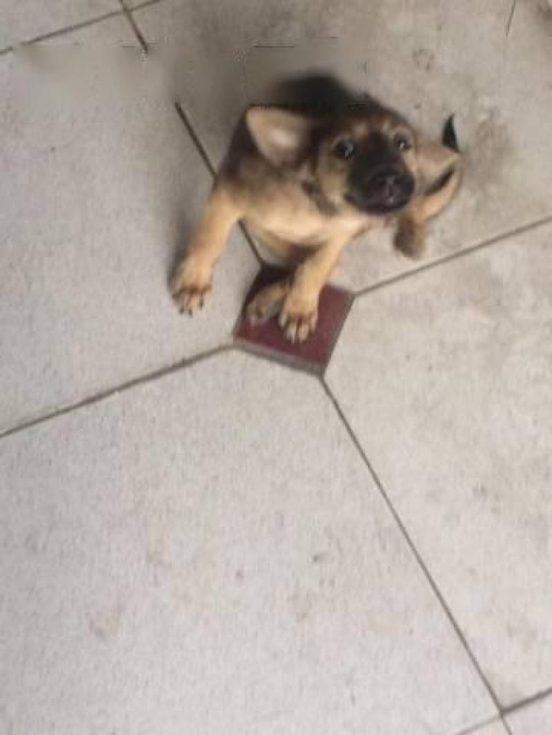 Cần bán cún con lai becgie 3 tháng