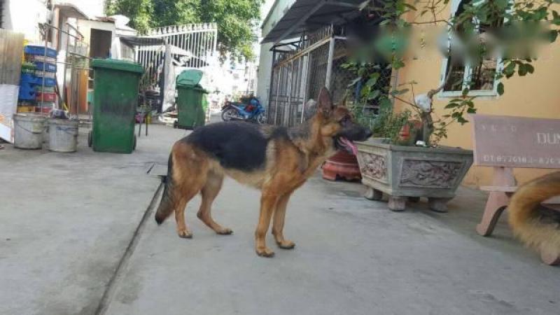 Cần bán chó becgie cái thuần chủng
