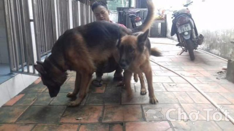 Bán chó becgie 1.5 Tháng tuổi