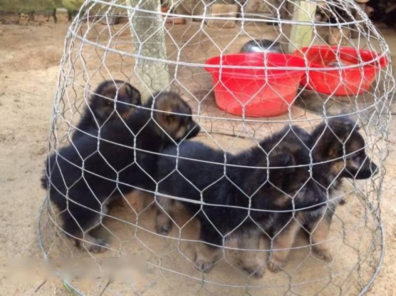 Bán bầy chó becgie thuần chủng
