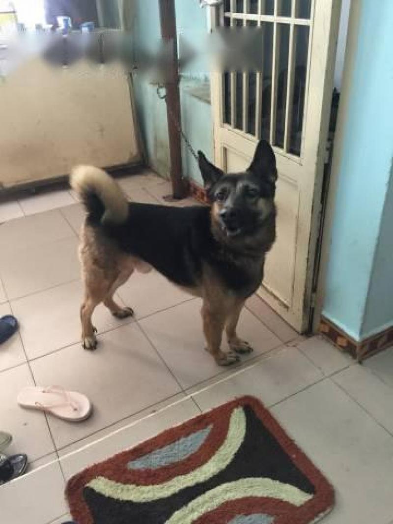 Cần bán chó becgie 1 tuổi