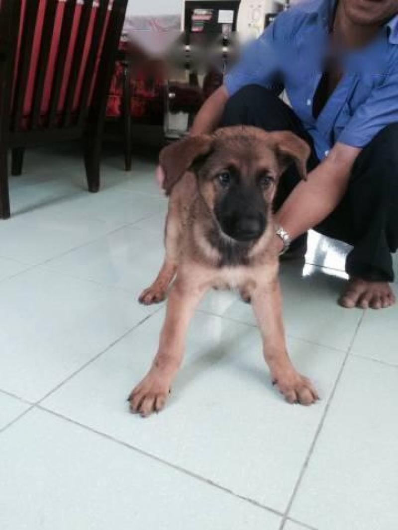 Cần bán chó becgie cái hai tháng