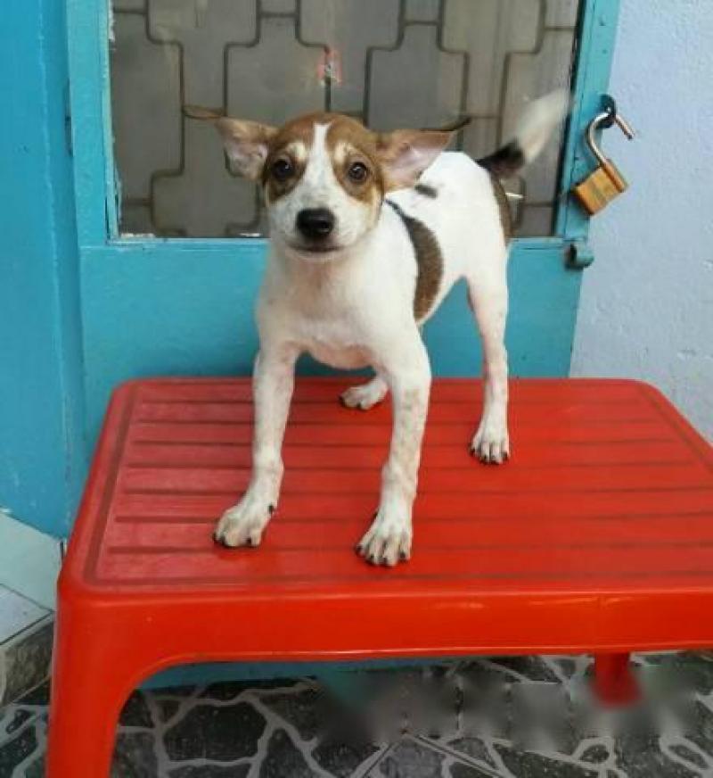 Bán chó lai becgie - cái 4kg