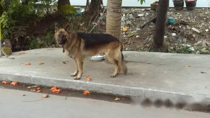 Bán chó becger