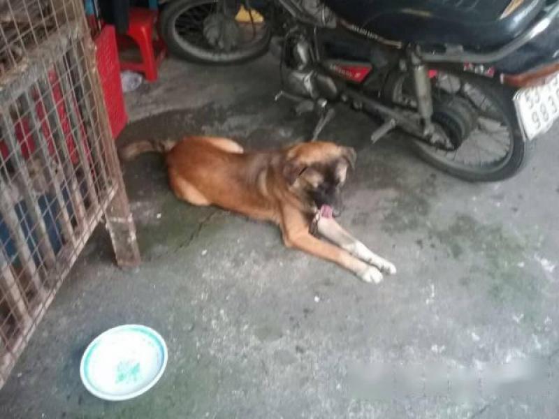 Cần bán chó becgie bỉ