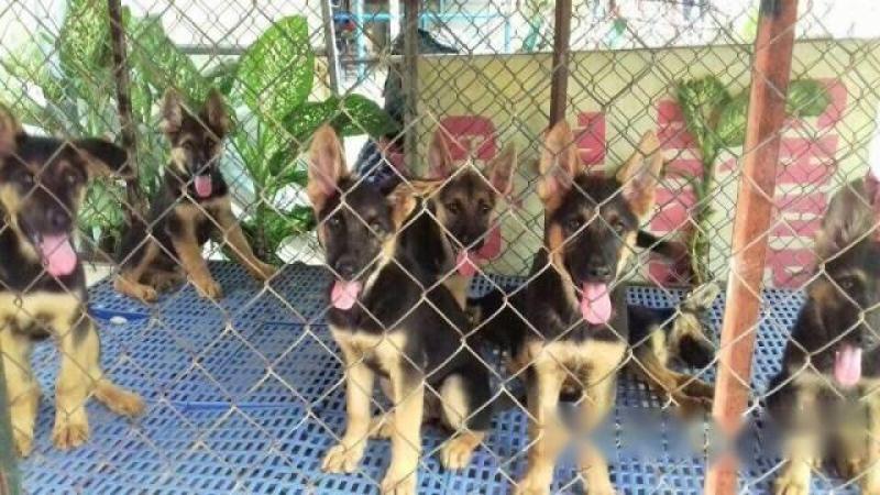 Bán chó becgie giống đức thuần chủng