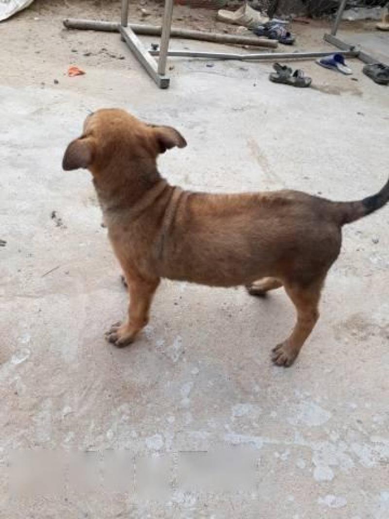 Cần bán chó becgie lai phú quốc hai tháng tuổi