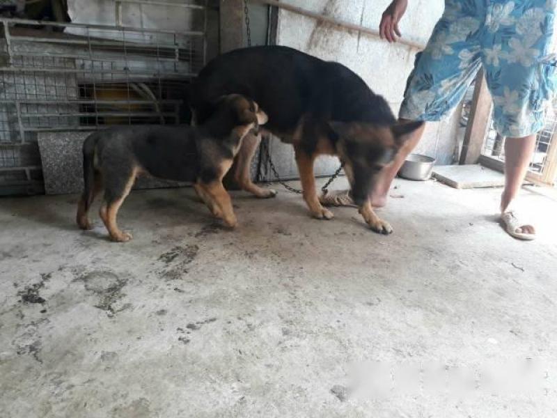 Cần bán chó lai becgie
