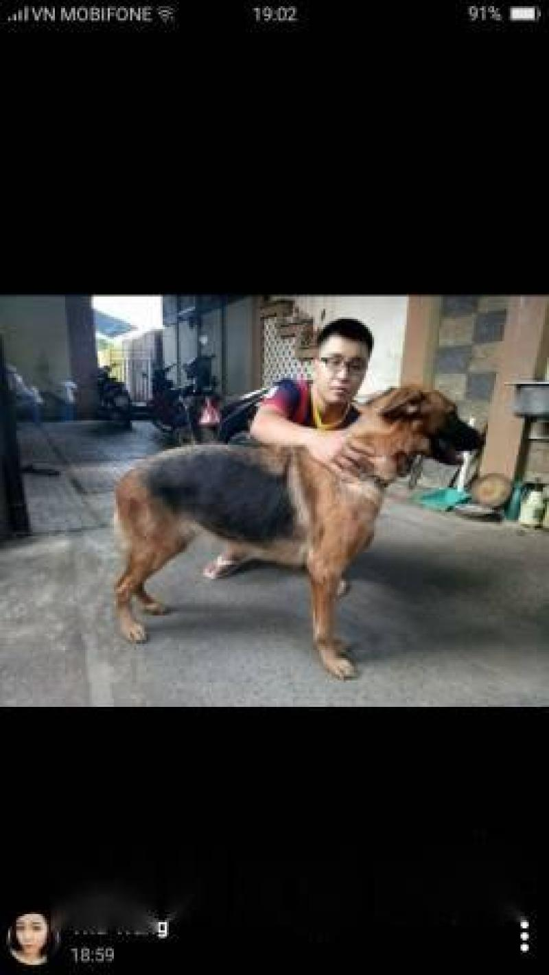Bán chó becgie thuần chủng đức