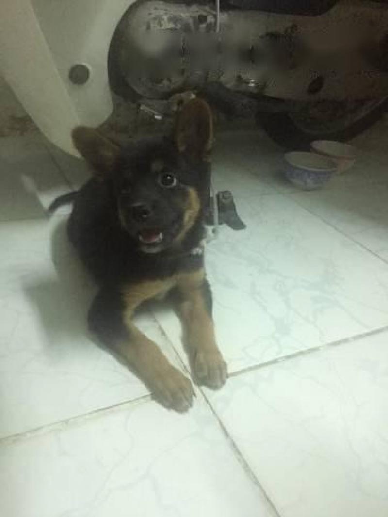 Chó becgie một tháng 7 ngày tuổi