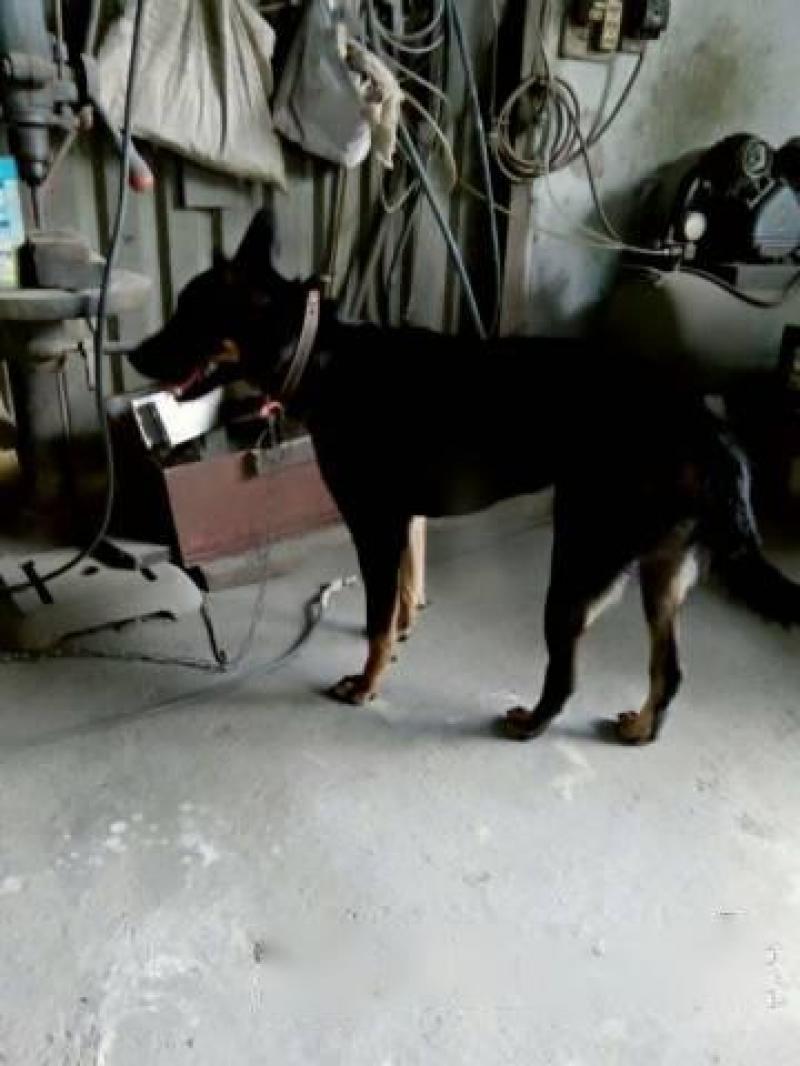 Bán chó becgie lai