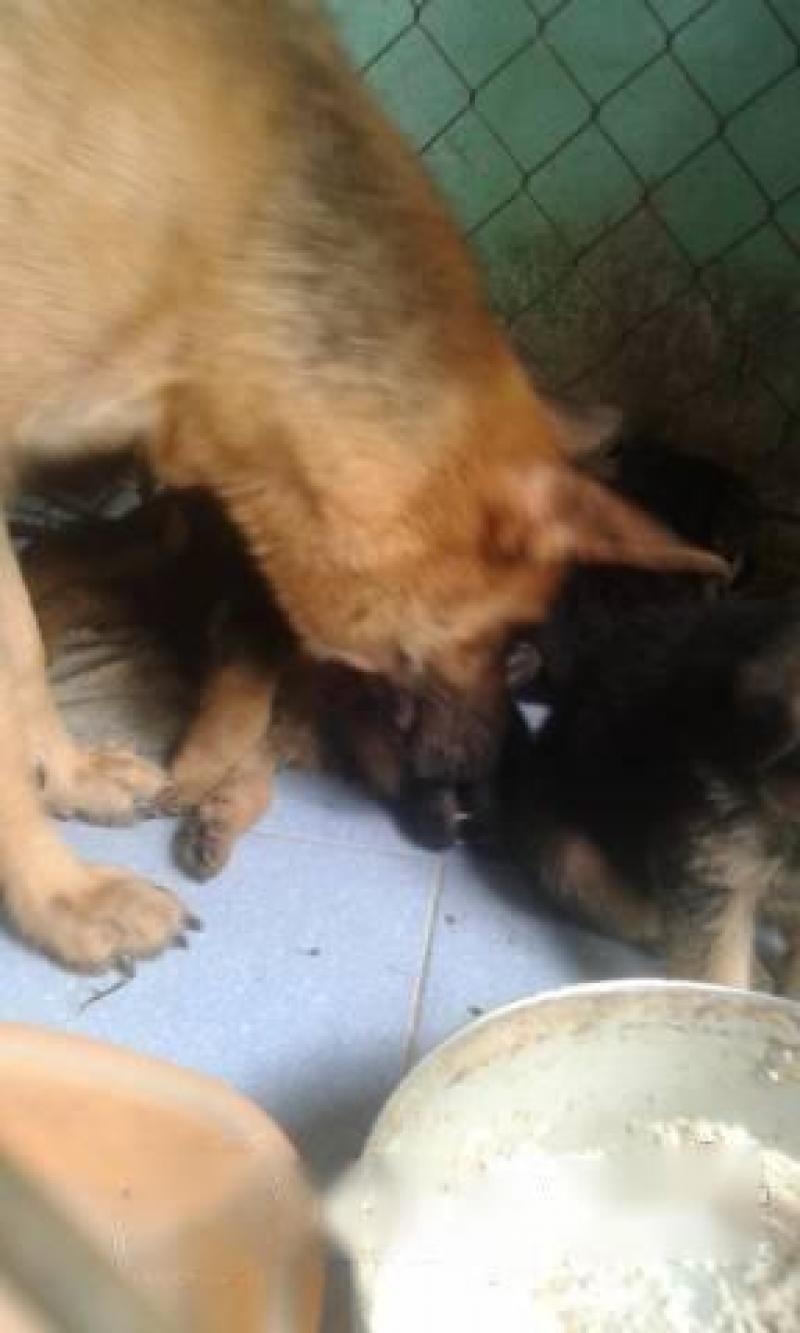 Chó bec giê con hai tháng tuổi. Đàn 10 con.
