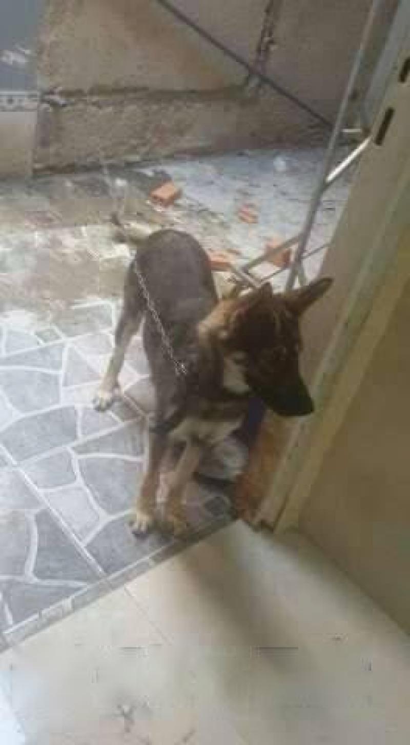 Chó becgie nga 7 tháng