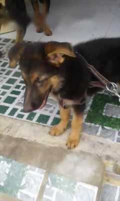 Bán chó becgie cái hai tháng tuổi